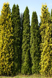 Row of cypresses. Front view of row of green and yellow cypresses standing next to field royalty free stock photography