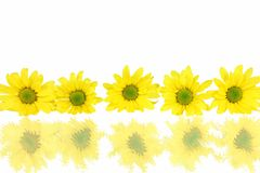 Row Of Daisies With Reflections On White Royalty Free Stock Images