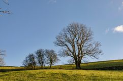 A row of deciduous trees in winter. A row of deciduous trees on a sunny day in winter. Cumbria, northern England Royalty Free Stock Photos