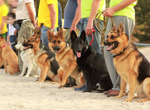 Row of dogs on leashes next to their owners stock images
