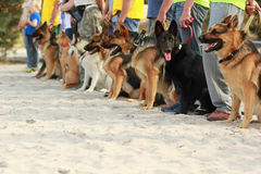 Row of dogs on leashes next to their owners. At the dog`s exhibition Stock Images
