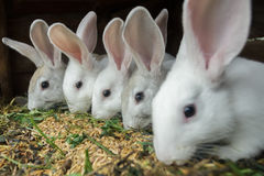 Row of domestic rabbits eating grain and grass in farm hutch royalty free stock images