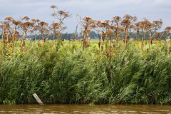 Row of dried out hog weed (Heracleum sphondylium) Stock Photo