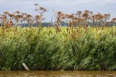 Row of dried out hog weed (Heracleum sphondylium) Stock Photo