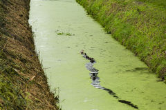 A row of ducks in ditch water Royalty Free Stock Photography
