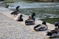Row of Ducks Stock Photography