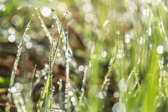 Row of early dew drops on blades of grass illuminated by the rising sun Royalty Free Stock Photo