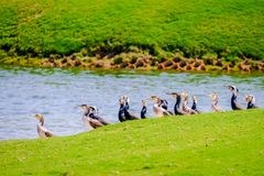 Row of Egyption Goose at Saadiyat Lake stock image