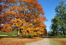 Row of English Oak Trees in Autumn colors Royalty Free Stock Image