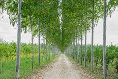 Row eucalyptus tree in the garden. Stock Photos