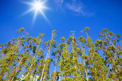 Row of Eucalyptus trees Stock Photography