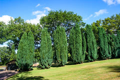 Conifer Trees. A row of evergreen conifer trees in summer Royalty Free Stock Photography
