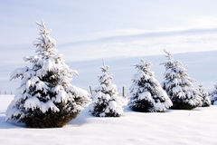 Row of Evergreen Trees in Winter Royalty Free Stock Image