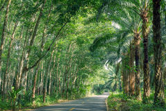 Row of expired para rubber tree and palm tree Royalty Free Stock Image