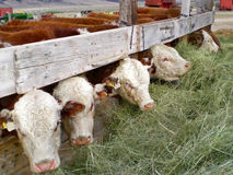 Row of feeding cows. Row of beef cows with heads under fence feeding on hay Stock Images