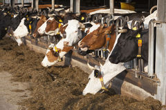 Row of feeding cows in open barn on dutch organic farm Stock Image