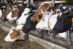 Row of feeding cows in open barn on dutch organic farm Stock Images