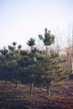 Row of Fir Trees Royalty Free Stock Images