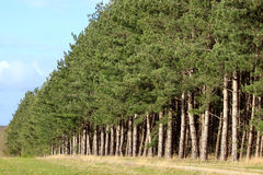 Row of firs Royalty Free Stock Photos