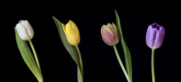 Row of five coloured tulips Royalty Free Stock Image