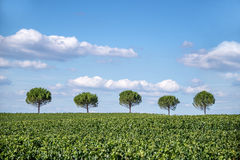 Row of five trees Royalty Free Stock Images