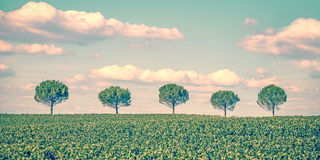 Row of five trees in a field Royalty Free Stock Photo