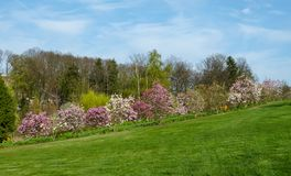Row of flowering magnolias in the botanical garden in Niemcza, Poland. Line of Magnolia trees on the green hill. Landscape with royalty free stock photo