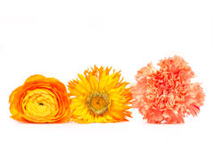 Row of Flowers. Yellow flower blossoms series blossoms of three different flowers in front of a white background Royalty Free Stock Image
