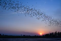 Row of flying bats colony. With sunset sky background stock image