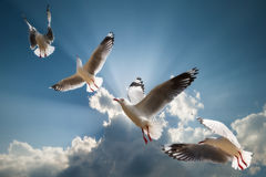 Row of flying seagulls in blue sky with beautiful sun ray Stock Photos