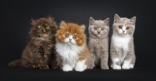 Row of four British Long- and Shorthair kittens on black