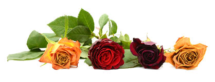 Row of four fading rose blooms Royalty Free Stock Photography