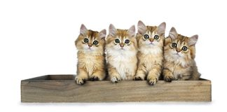 Row of four golden British Longhair cat kittens sitting in a wooden tray, looking straight in de camera with big green eyes, isola. Golden british longhair stock photography