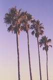 Row of four palm trees at sunset with purple sky Royalty Free Stock Photos