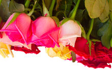 Row  of fresh multicolored  roses Royalty Free Stock Photography