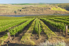 Row of fresh vines in the Columbia Gorge OR. Stock Photo