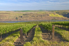 Row of fresh vines in the Columbia Gorge OR. Stock Image