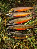 Row of Freshly Caught Brook Trout. On Grass stock photo