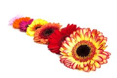 Row of gerbera royalty free stock photo