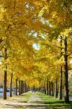 Row of ginkgo trees in golden autumn stock image