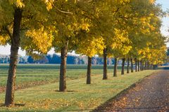 Autumn Driveway. A row of golden trees lines a long driveway stock photo
