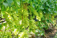 Row of grape Stock Photos