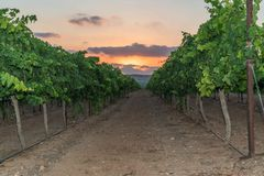 Row of grape plants at a vineyard, with sunset view Stock Photography