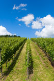 Row of grape vine Stock Images
