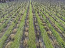 A row of Grape Vine Staring to Grow stock footage