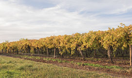 Row of Grape Vines in Autumn Royalty Free Stock Photography