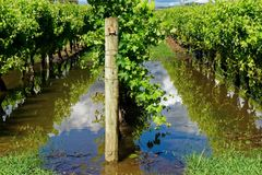 Row of grape vines in flood water stock photos