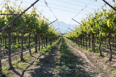Row of Grape Vines in Southern California Stock Photography