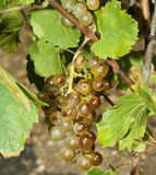 Row of grapes Stock Image