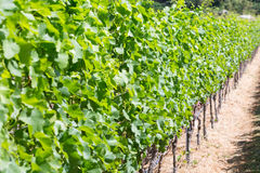 Row of grapes plants Stock Image